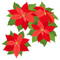 Red poinsettias decorations poinsettia flowers for christmas on white background Royalty Free Stock Photo