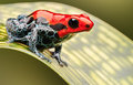 Red poison arrow frog Royalty Free Stock Photo