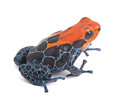 Red poison dart frog isolated ranitomeya amazonica rio blanca beautiful vibrant amphibian from tropical rain forest in peru kept Royalty Free Stock Photography