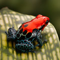 Red poison dart frog peru rain forest tropical amphibian from a morph of ranitomeya amazonica arena blanca these animal are Royalty Free Stock Image