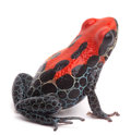 Red poison dart frog ranitomeya reticulata from the amazon rain forest of peru kept as an exotic pet animal in a jungle Royalty Free Stock Image