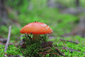 Red poisoned mushroom growing in the forest Royalty Free Stock Images