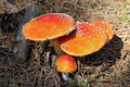 Red poisoned mushroom growing in the summer forest Royalty Free Stock Images