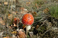 Red a poisonous toadstool in moss Stock Photography