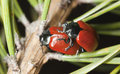 Red poplar leaf beetle Royalty Free Stock Image