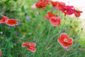 Red poppies background Royalty Free Stock Images