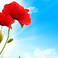 Red poppies, blue sky Royalty Free Stock Photo