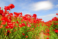 Red poppies and blue sky in holland Stock Image