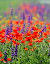 Red poppies on cereal field in summer Royalty Free Stock Photo