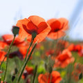 Red poppies closeup. Stock Photography