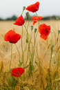 Red poppies on the corn field Stock Photos