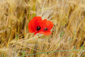 Red poppies on the corn field Royalty Free Stock Image