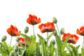 Red poppies floral border isolated on white background Royalty Free Stock Image