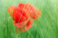 Red poppies flower in green field spring Royalty Free Stock Photo