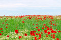 Red poppies flower meadow and blue sky Royalty Free Stock Photo