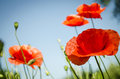 Red poppies in the flowering season Royalty Free Stock Photo
