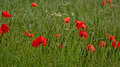 Red poppies in a green wheat field in flanders  Papaveraceae Royalty Free Stock Photo