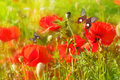 The red poppies on green field Stock Photography
