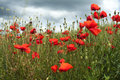 Red poppies on green field with flower of the poppy blue sky background Royalty Free Stock Photo