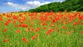 Red poppies on green field picturesque nature rural landscape with plantation Stock Images