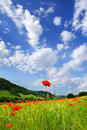 Red poppies on green field picturesque nature rural landscape with plantation Royalty Free Stock Photo