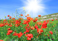 Red poppies on a green meadow the field against blue sky Royalty Free Stock Photography