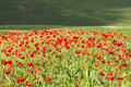 Red poppies on green summer field in the sunset Royalty Free Stock Photos