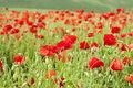 Red poppies on green summer field in the sunset Royalty Free Stock Photography