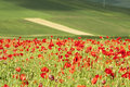 Red poppies on green summer field in the sunset Royalty Free Stock Photo