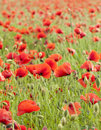 Red poppies on green summer field in the sunset Royalty Free Stock Images