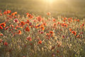 Red poppies on green summer field in the sunset Stock Photos