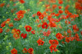 Red poppies growing in a meadow in spring Royalty Free Stock Photo