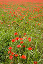 Red poppies growing wild Royalty Free Stock Photography