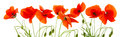 Red poppies isolated . Royalty Free Stock Photo