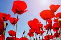 Red poppies looking up at in spring field Stock Photos