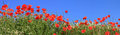 Red poppies and marguerites full bloom, panoramic size Royalty Free Stock Photo