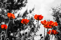 Red poppies monochromatic image toned Stock Photography