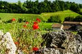 Red poppies on an old stone wall. Royalty Free Stock Photo