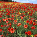 Red poppies overgrowing farmers field of oilseed rape Stock Photos