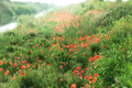 Red poppies beside the river beautiful landscape scenery with Royalty Free Stock Photos