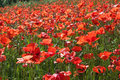 Red poppies in spring green field Royalty Free Stock Photo