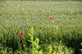 Red poppies among a wheat field Royalty Free Stock Photo