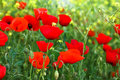 Red poppies and yellow flowers near the sea Royalty Free Stock Photography