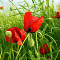 Red poppy Royalty Free Stock Photo