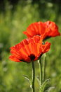 Red poppy. Royalty Free Stock Images