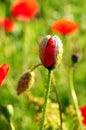 Red poppy bud Royalty Free Stock Photo