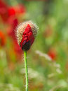 Red poppy bud Royalty Free Stock Photo