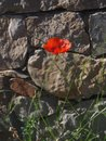 Red poppy common, corn rose, Flanders poppy, weed, coquelicot blooming on field. Royalty Free Stock Photo