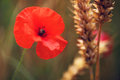 Red Poppy, Corn Poppies - Remembrance Day Stock Photos