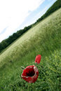 Red poppy in field Royalty Free Stock Photo
